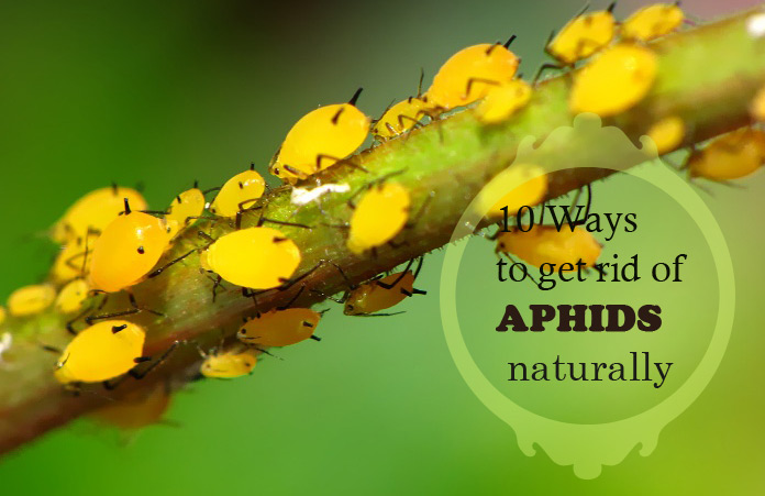Naturally Get Rid Of Aphids