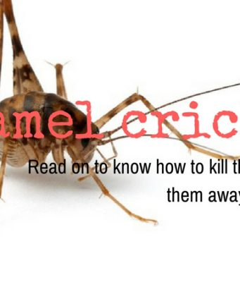 homemade remedies to get rid of camel crickets