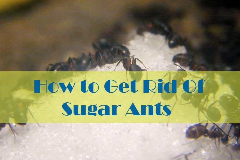 17 Natural Ways to Getting Rid of Sugar Ants (In House And Kitchen ...