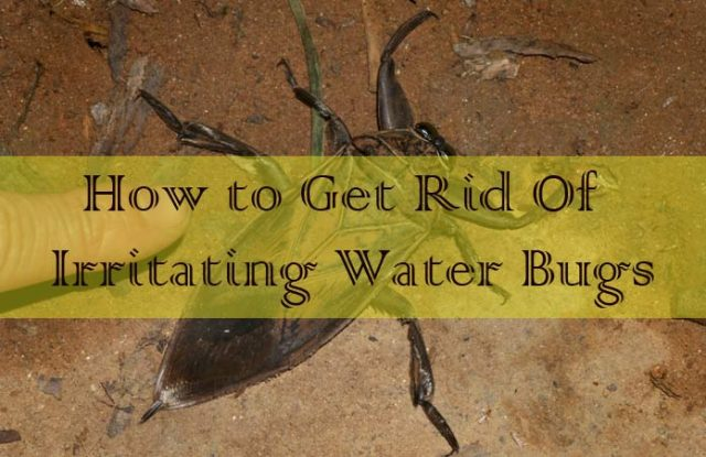 Get Rid Of Irritating Water Bugs