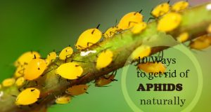 How To Get Rid Of Aphids Naturally