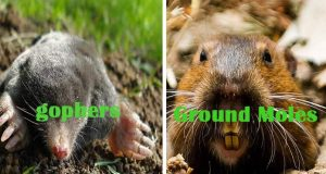 Home Remedies to get rid of gophers and Ground Moles
