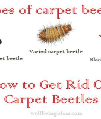 Effective Ways Of Getting Rid Of Carpet Beetles