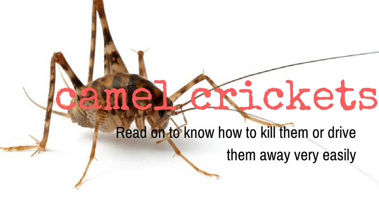 Will Boric Acid Kill Cave Crickets The Best Cave
