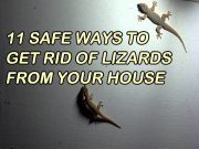 Get Rid of Lizards from your House Naturally