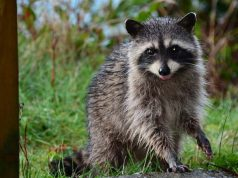 15 effective do it yourself ways to get rid of carpet beetles How to keep raccoons out of garden