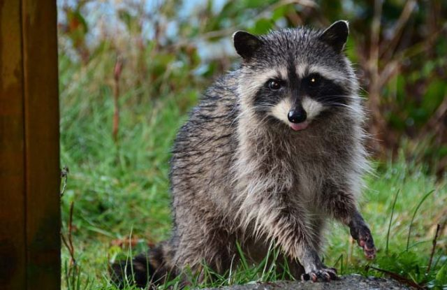 How to keep raccoons away naturally