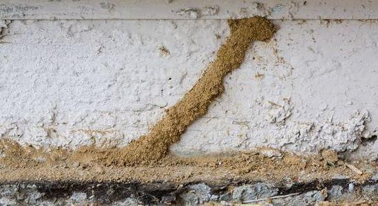 Mud tubes termites