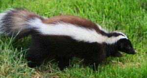 Safe Ways to Get Rid of Skunks