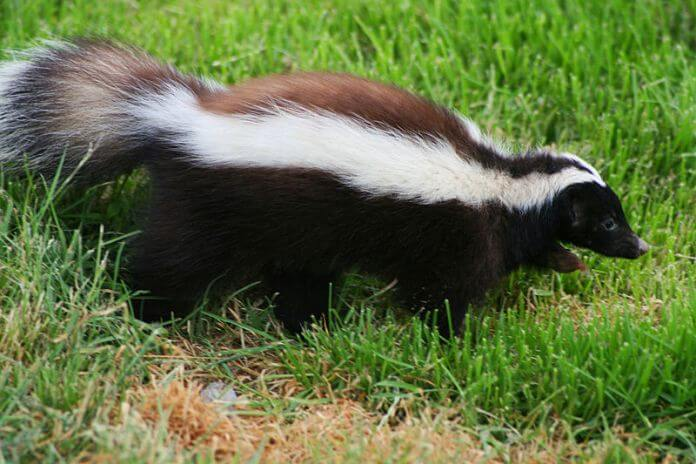 Skunk In Backyard 11 natural and safe ways to get rid of skunks from your properties