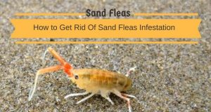 Home Remedies To Get Rid Of Sand Fleas Infestation