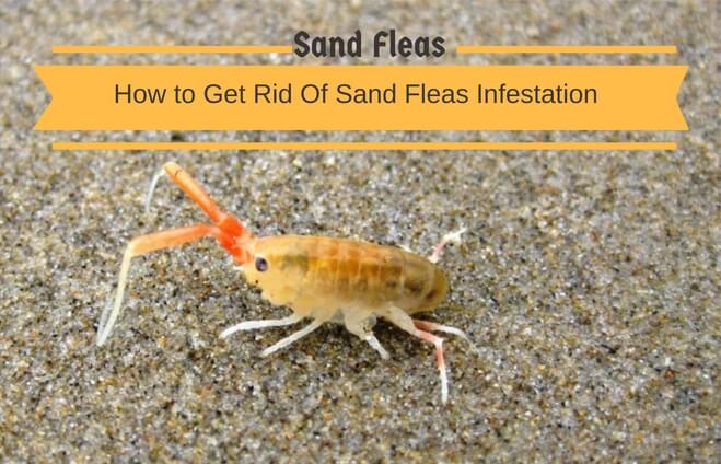 11 Effective Home Remedies To Get Rid Of Sand Fleas