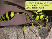 Natural Ways To Get Rid Of Mud Daubers And Their Nest
