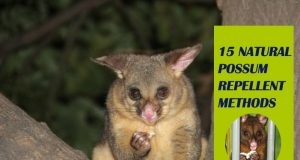 How To Get Rid Of Possum Naturally