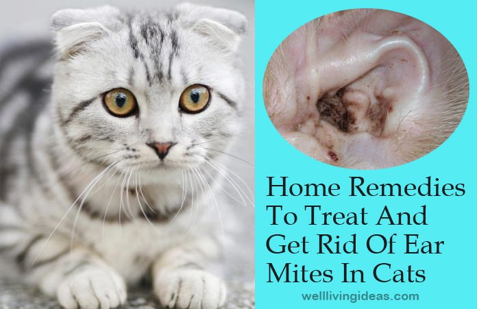 16 Effective Home Remedies To Treat And Get Rid Of Ear ... Ear Mites In Cats
