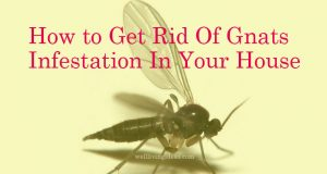 How to Get Rid Of Gnats Infestation In Your House