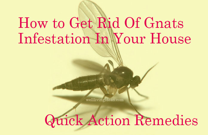 25 quick action home remedies to get rid of gnats infestation in your house - Gnats In Kitchen