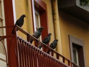 Home Remedies to Get Rid of Pigeons Naturally