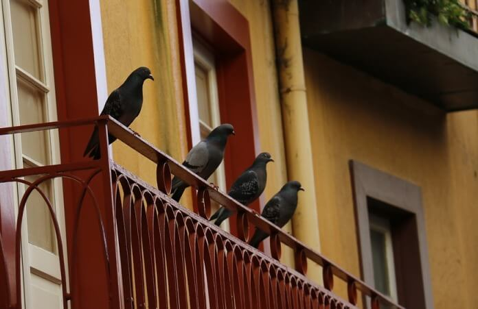 20 Home Remedies to Get Rid of Pigeons Naturally and Easily