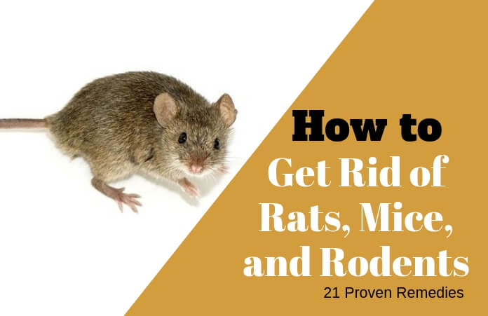 21 Easy And Inexpensive Home Remes To Get Rid Of Rats Mice Similar Rodents