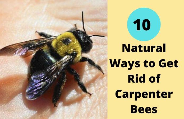 10 Natural Ways To Get Rid Of Carpenter Bees